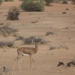 שמורת הטבע אל מאחה, Murquab