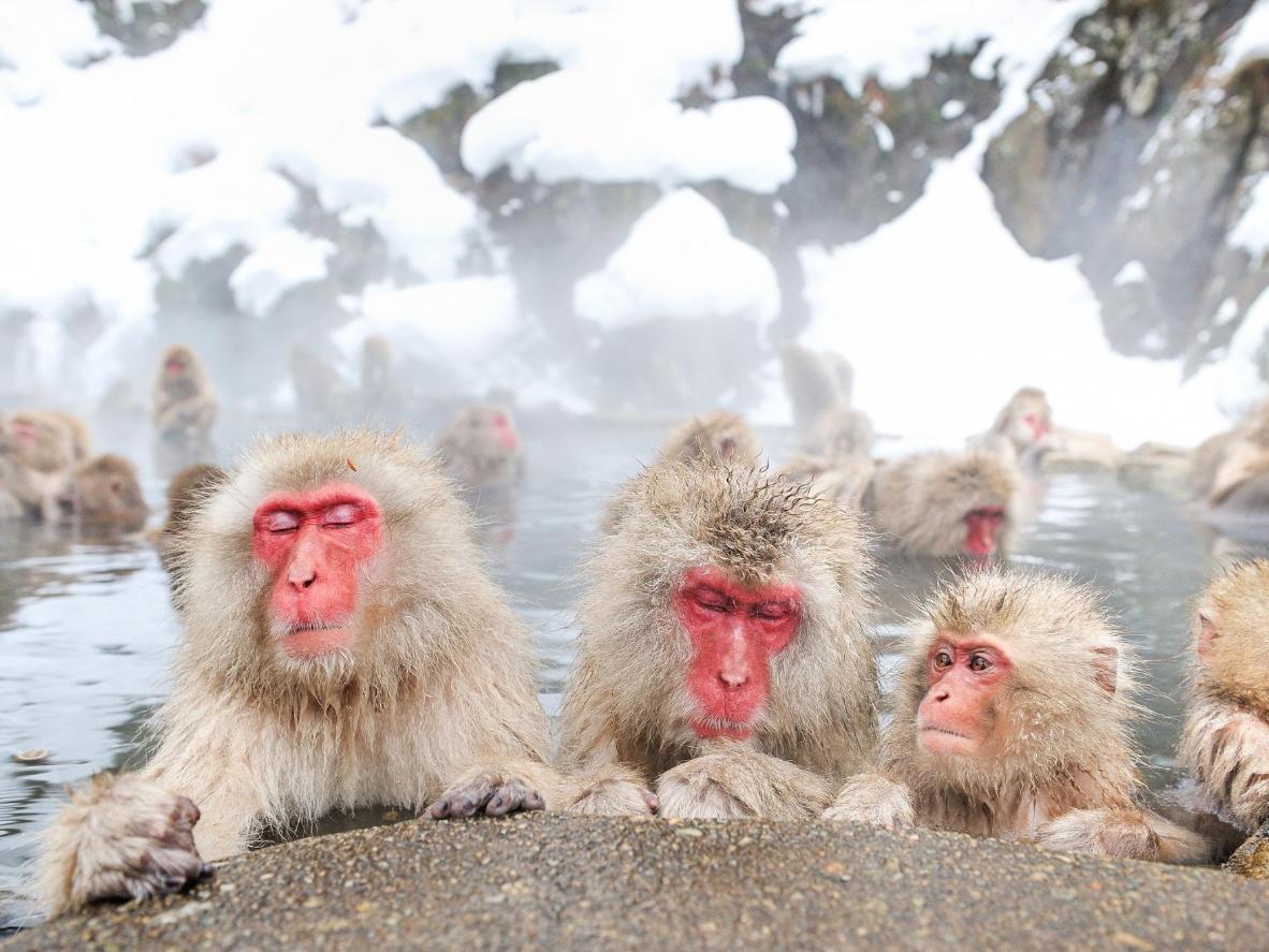 Estes macacos aproveitam o melhor do banho termal