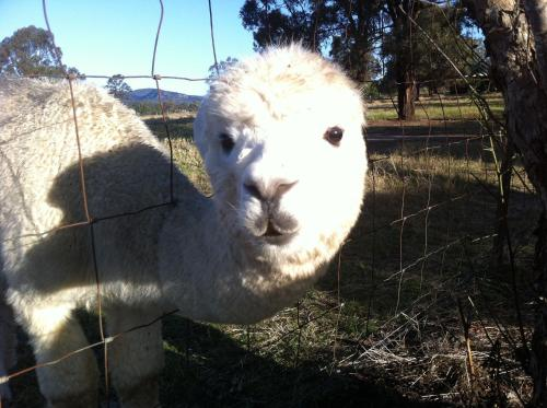 ホテル写真: Starline Alpacas Farmstay Resort, Broke