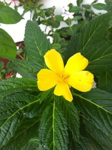 Seychelles Yellow Petals