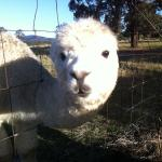 Hotel Pictures: Starline Alpacas Farmstay Resort, Broke