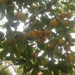 By The Lemon Tree, Amã