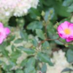 Lavenderdream, Wijckel