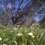 The Olive Grove, Sir Lowry Pass
